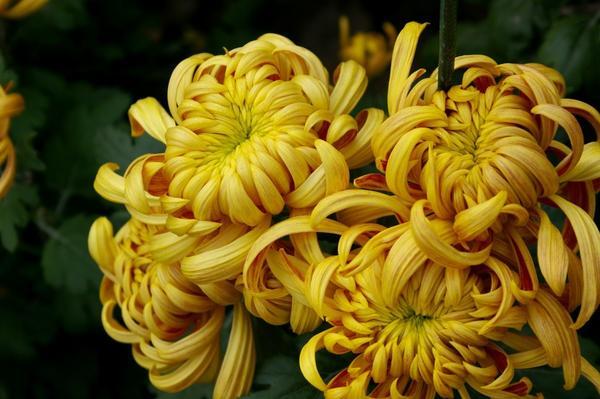 Дендрантема садовая сорт Темное пламя – мягкое золото, фото автора