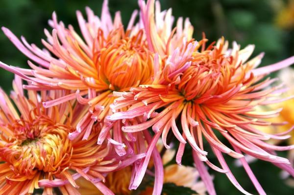 Дендрантема садовая сорт Enzett Dilana Rosa, фото автора