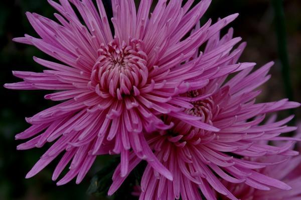 Дендрантема садовая сорт Anastasia Lilac, фото автора