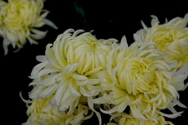 Дендрантема садовая сорт Queen Mary, фото автора