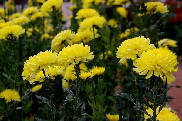 Дендрантема садовая сорт Golden Standart, фото автора