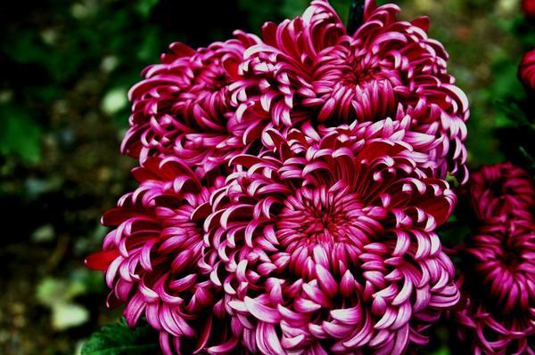 Дендрантема садовая сорт Demurral Lilac, фото автора