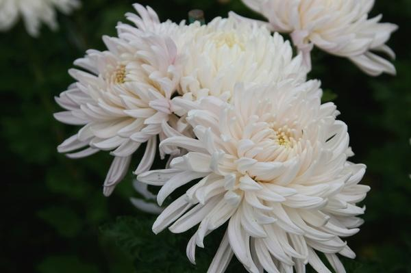 Дендрантема садовая сорт Chita, фото автора