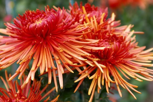Дендрантема садовая сорт Spira Red, фото автора