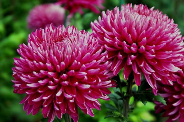 Дендрантема садовая сорт Holmdel Dark, фото автора