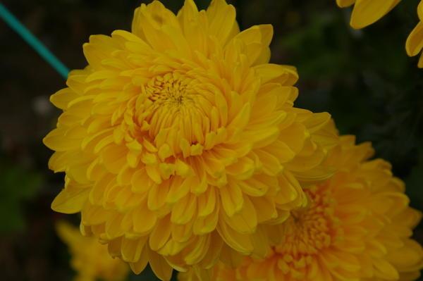 Дендрантема садовая сорт Апельсиновый шар с шаровидными соцветиями, фото автора