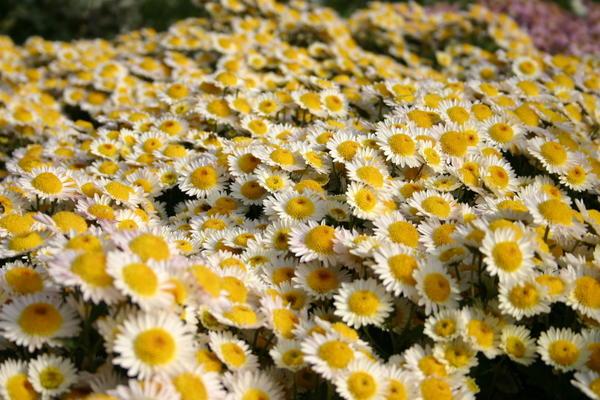 Хризантема садовая сорт Русское поле, фото автора