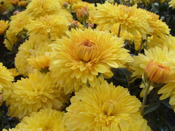 Хризантема садовая сорт Опал, фото автора