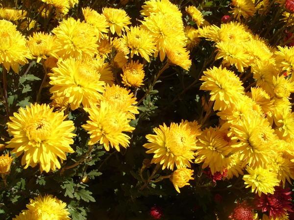 Хризантема садовая сорт Золотой ключик, фото автора