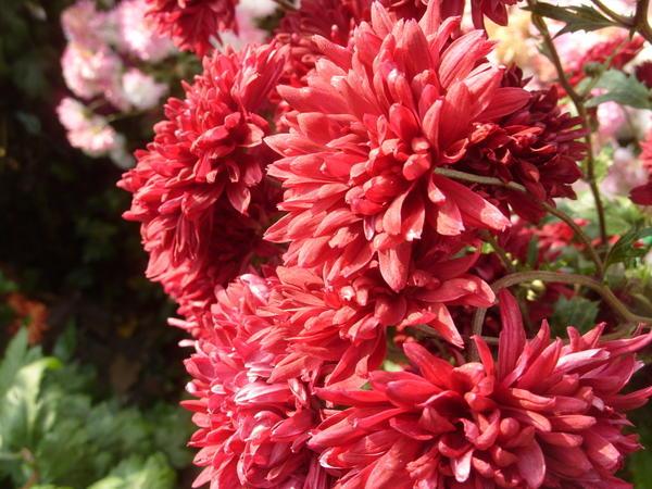 Хризантема садовая сорт Вишневый сад, фото автора