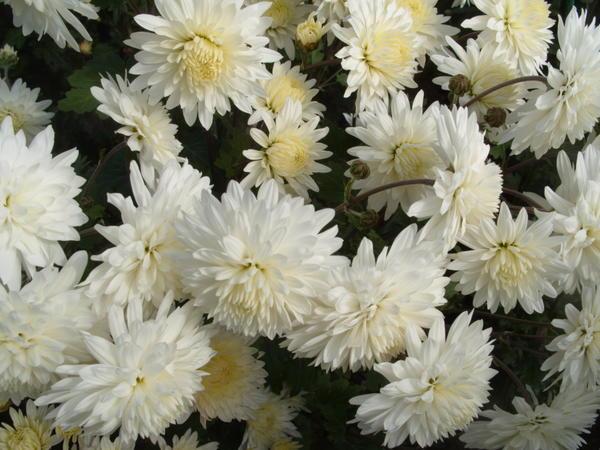 Хризантема садовая сорт Вера, фото автора