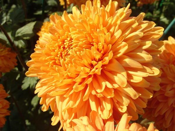 Хризантема садовая сорт Свет зарниц, фото автора