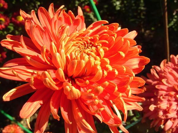 Хризантема садовая сорт Осенний мотив, фото автора