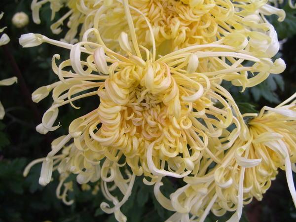 Хризантема садовая сорт Пусть всегда будет солнце, фото автора