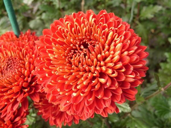Хризантема сорт Красное знамя, фото автора