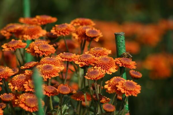 Хризантема садовая сорт Николина, фото автора