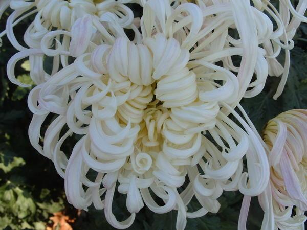 Хризантема садовая сорт Белый пудель, фото автора