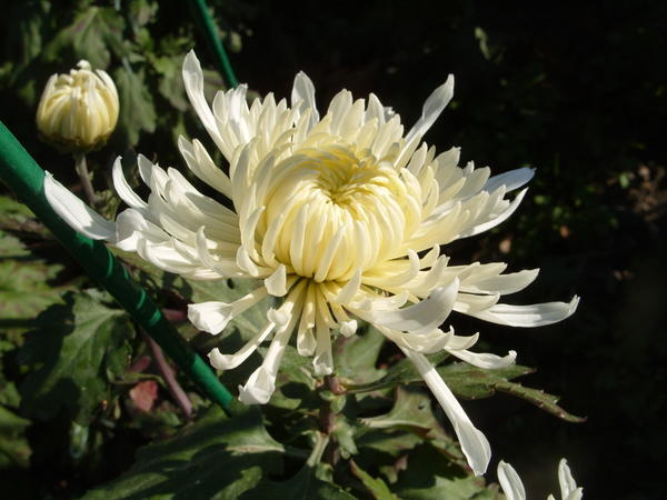 Хризантема садовая сорт Космос, фото автора