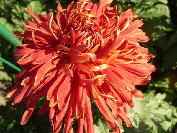 Хризантема садовая сорт Факел, фото автора