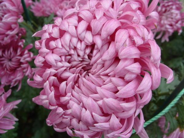 Хризантема садовая сорт Далекая звезда, фото автора