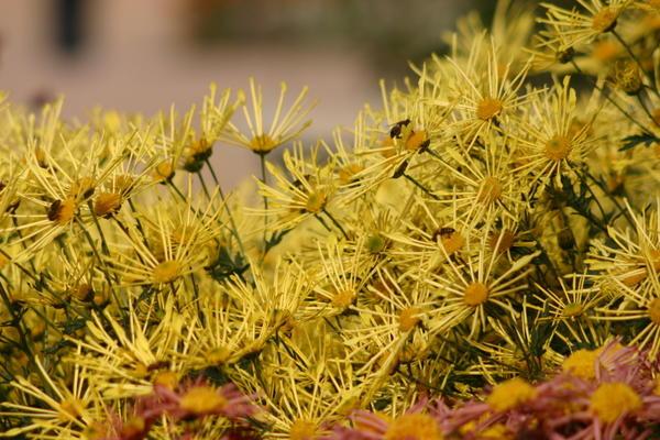 Хризантема садовая сорт Золотой паучок, фото автора