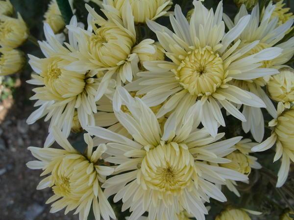 Хризантема садовая сорт Царевна лебедь, фото автора