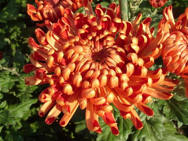Хризантема садовая сорт Рубин, фото автора