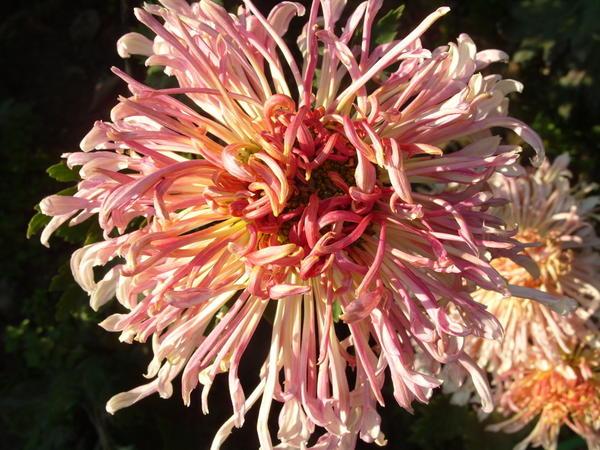 Хризантема садовая сорт Грация, фото автора