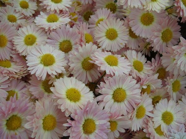 Хризантема садовая сорт Пастораль, фото автора