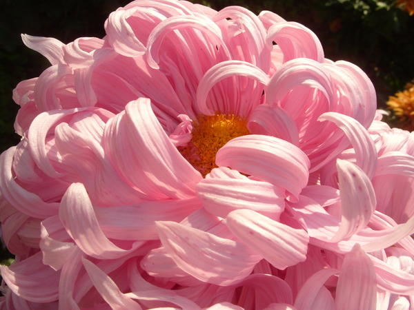 Хризантема садовая сорт Халцедон, фото автора