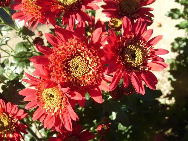 Хризантема садовая сорт Орфей, фото автора