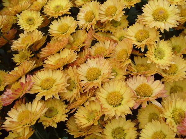 Хризантема садовая сорт Золотой улей, фото автора
