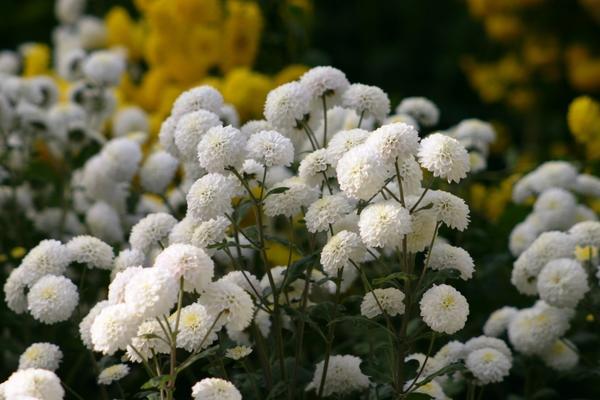 Хризантема садовая сорт Снежный шар, фото автора