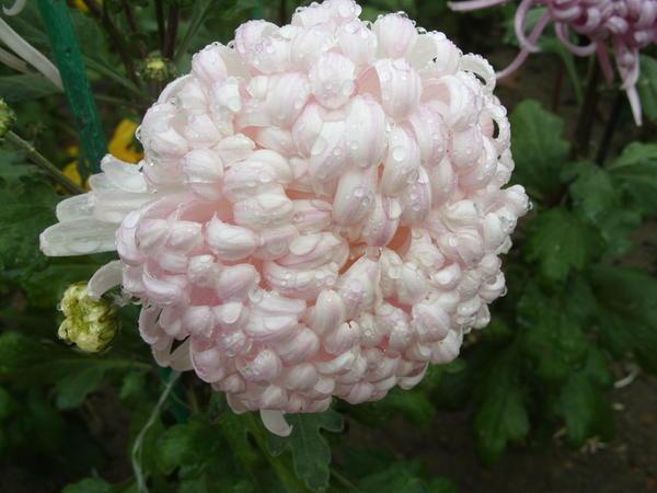 Хризантема садовая сорт Белый феникс, фото автора