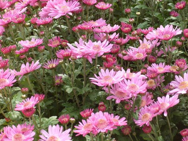 Хризантема садовая сорт Поле чудес, фото автора