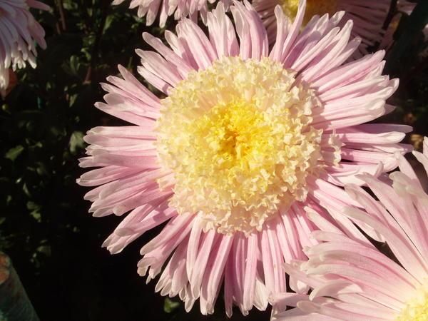 Хризантема садовая сорт Юность, фото автора