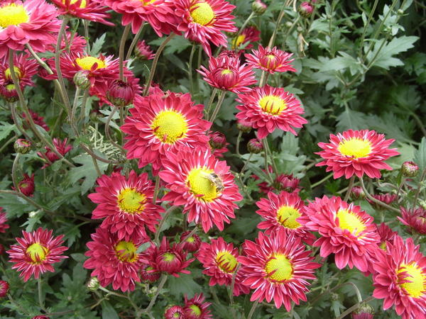 Хризантема садовая сорт Струя лазури, фото автора