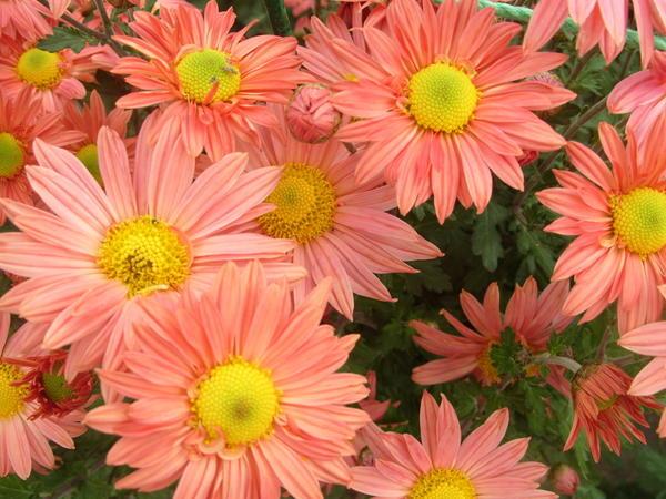 Хризантема садовая сорт Пастель, фото автора
