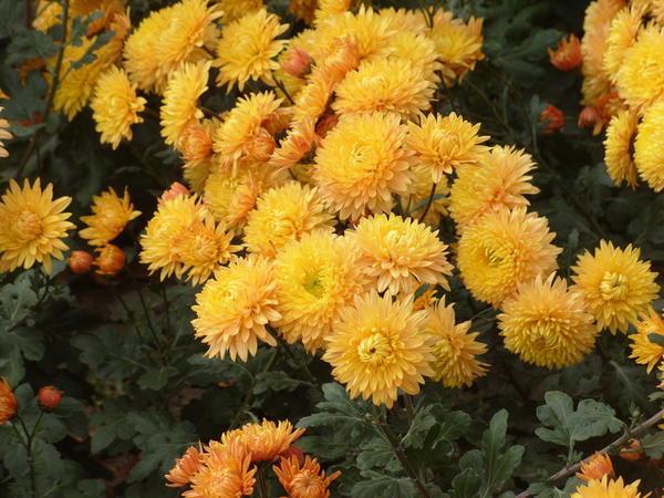 Хризантема садовая сорт Янтарь, фото автора