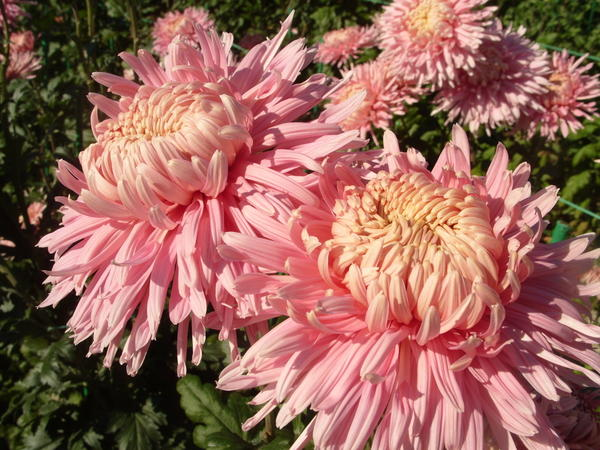 Хризантема садовая сорт Сиреневые дали, фото автора