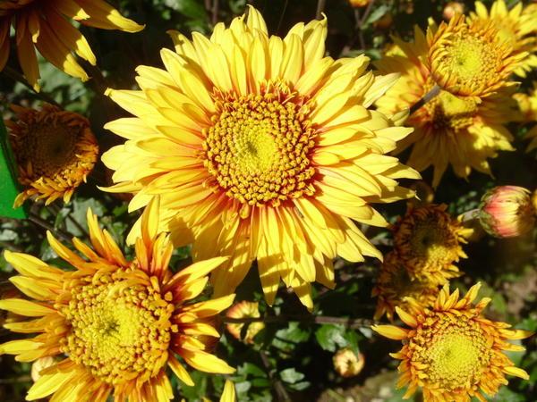 Хризантема садовая сорт Солнышко, фото автора