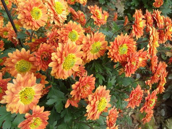 Хризантема садовая сорт Никитская юбилейная, фото автора