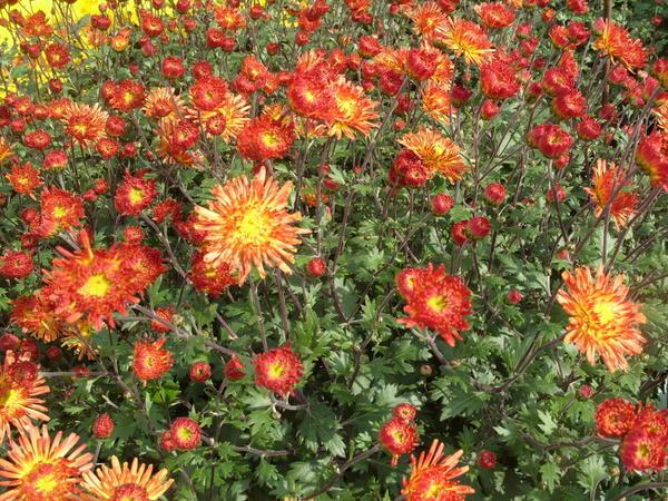 Хризантема садовая сорт Охристый луч, фото автора