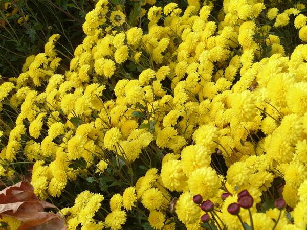 Хризантема садовая сорт Солнечный зайчик, фото автора