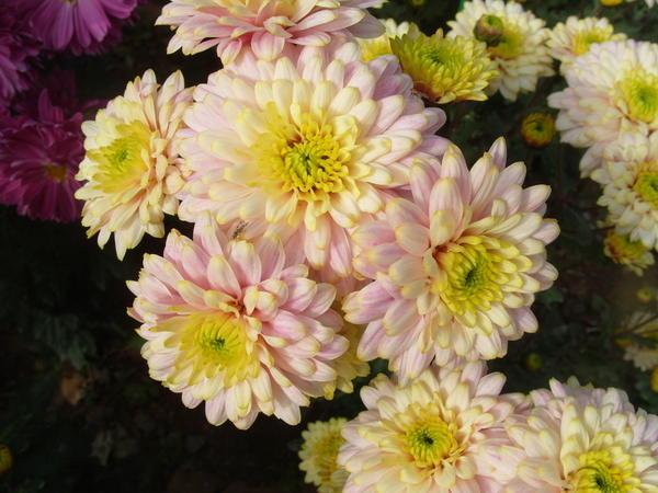 Хризантема садовая сорт Нежность, фото автора