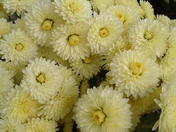 Хризантема садовая сорт Лунная серенада, фото автора