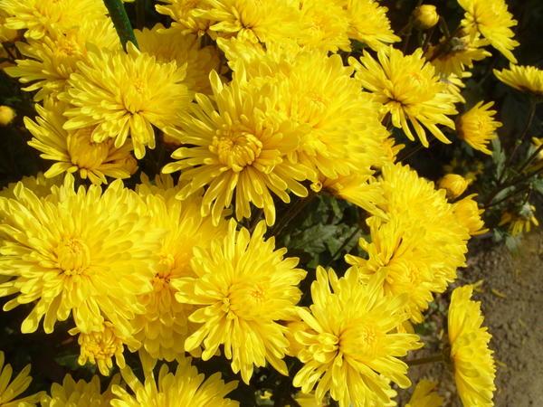 Хризантема садовая сорт Золотая нива, фото автора