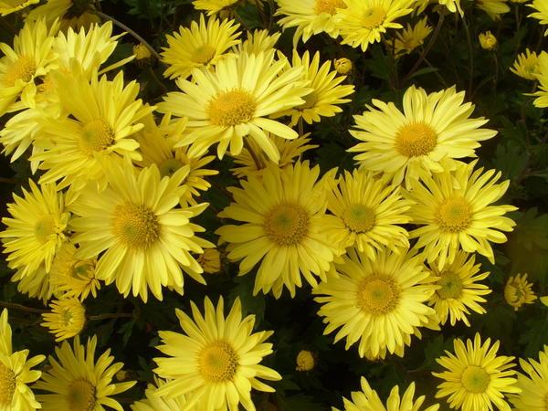 Хризантема садовая сорт Золотой подсолнух, фото автора