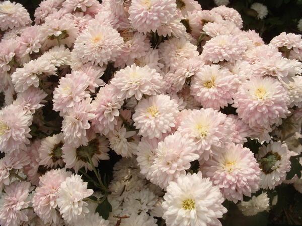 Хризантема садовая сорт Славяночка, фото автора