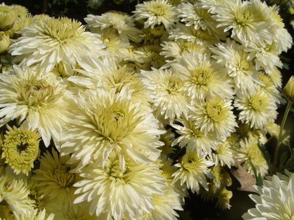 Хризантема садовая сорт Ранний снег, фото автора